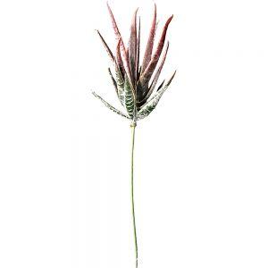Aloe spiky Attenuata succulent